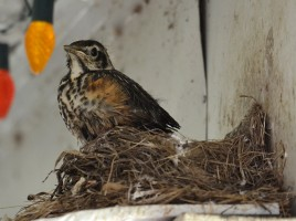 Robin-Last-to-Leave-the-Nest