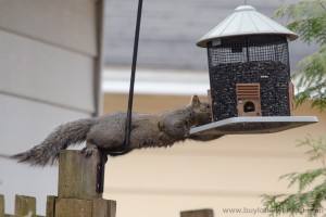 Squirrel-at-the-feeder